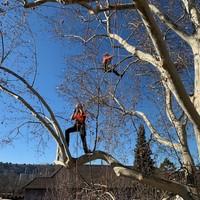 Baumpflege mit Seil-Klettertechnik