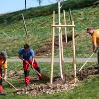 Baumpflanzung Lindenallee 2
